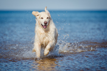 golden retriever dog in the water