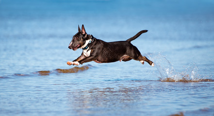 english bull terrier dog jumps above water