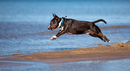 miniature english bull terrier dog on the beach