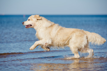 golden retriever dog on the beach