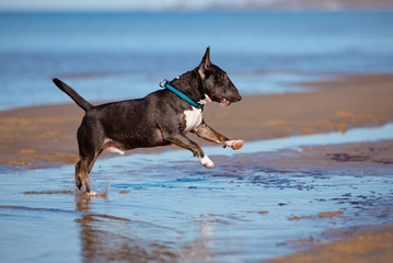 miniature english bull terrier dog