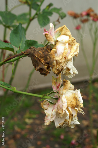 Gray mold on the flower rose - 80129813