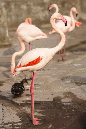 Foto op Aluminium Flamingo Several flamingos with the duck