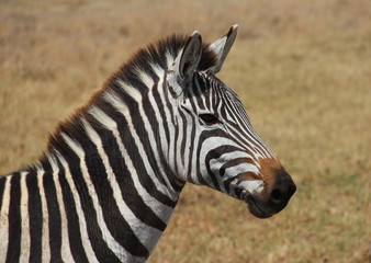 zebra,Tanzania