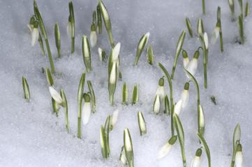 Schneegloeckchen; Galanthus, nivalis; Schnee;