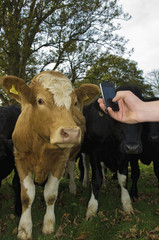 A man's hand holding a mobile phone, taking a picture of a cow's head. Farming apps, and livestock identification.