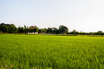 Riso , Pianura Padana, Novara , Piemonte, Italia