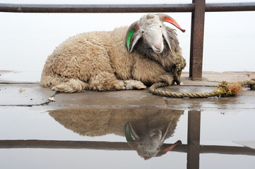 Sheep relaxing on a ghat of Varanasi