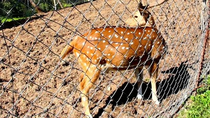 Small Spotted Deer  in the aviary