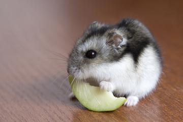 cute hamster eats a slice of apple