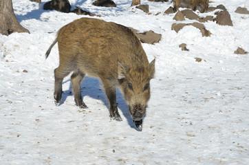 Молодой кабан в зимнем лесу, Приморский край