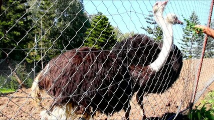Ostriches   in the aviary eating  grass from children's hands