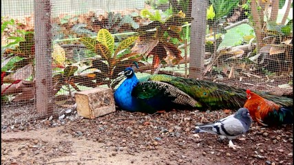 Peacock is resting lying on the ground