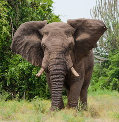 The elephant in the savannah. Uganda.