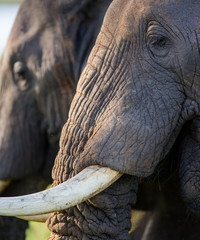 Portrait of an elephant with tusks. Uganda.