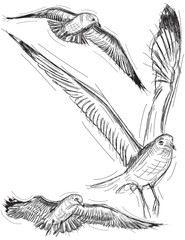 Seagull Drawings
