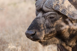 Wild Cape Buffalo in Kruger Park
