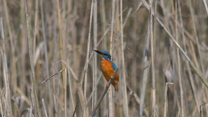 kingfisher, martin pescatore, Alcedo attis 2