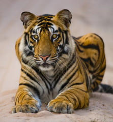 Portrait of a Bengal tiger. India.