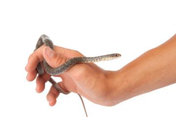 Blue Racer Snake