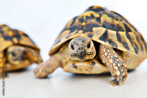 Papiers peints Tortue turtle in front of white background