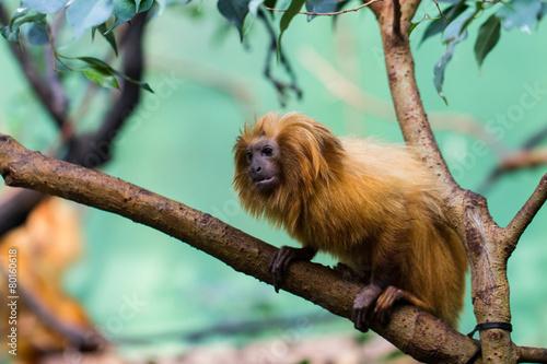lion monkey Poster