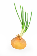 Onion bulb sprouting with large green sprouts.
