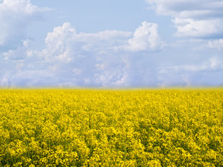 flowering field of colza in spring