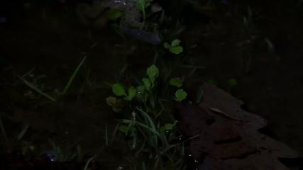 European green toad call, rospo smeraldino, Bufotes balearicus