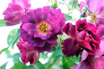 rose a primavera