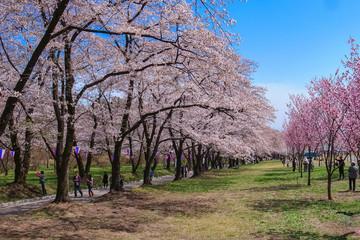 赤城千本桜