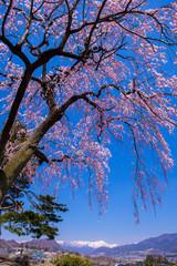 雪の谷川岳と垂れ桜
