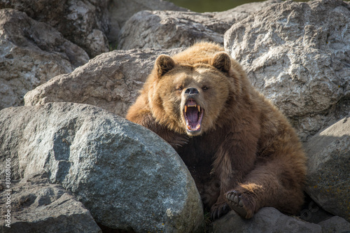 Aluminium Dragen Brown Bear on Rocks