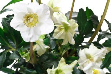 fiori di elleboro