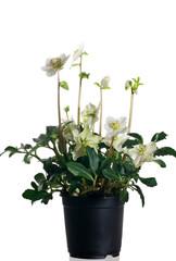 helleborus niger in vaso