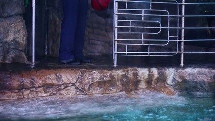 Fur seal dives into sea water of pool at oceanarium