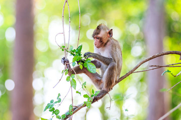 Monkey (Crab-eating macaque) eating leaves on tree in Thailand