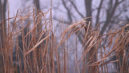 reed in the garden, winter, background