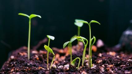 Green little plants growing in time lapse vide