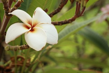 White plumeria in nature at the garden