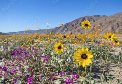 Foto op Canvas Zonnebloem Wildflowers in Anza Borrego Desert