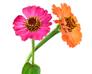 Two gerbera Flowers on white background