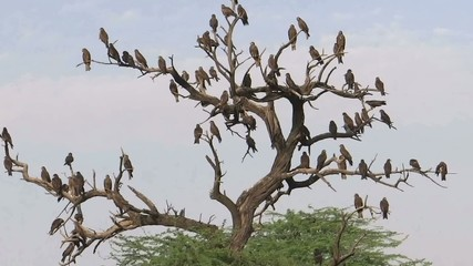 A Wake of Vultures/Vultures are sitting on a dead trees.