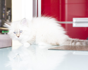 white puppy of cat at two months,siberian