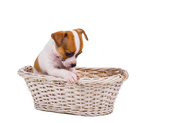 cute small chihuahua puppy sitting in a white basket