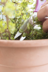 hand cutting a green fresh rosemary branch in seasoning garden