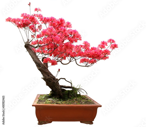 Fotobehang Bonsai Red azalea bonsai isolated on white background