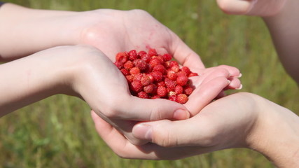 mans hands take wild strawberry from handful in female palms