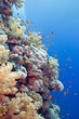 coral reef with hard corals and fishes anthias, underwater