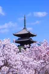 仁和寺の桜